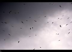 Vuelo (: metamorfosis :) Tags: aves pájaros cielo jp nubes nublado hitchcock donosti euskadi paisvasco vuelo volar sansebastián quépeliculera