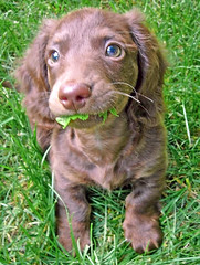 Another grass in mouth Teddy photo (Doxieone) Tags: dog brown cute grass puppy long teddy eating chocolate 2006 dachshund oldphoto pup haired mostpopular ggg hallmark longhaired teddyset vintageteddy ddate