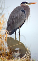 Great Blue Heron (Ardea Herodias) (Ian Sane) Tags: park blue lake heron oregon digital canon eos rebel great beaverton ardea sandbox commonwealth picnik xsi herodias