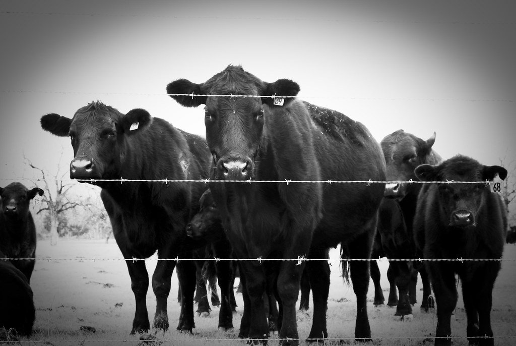 Bovine Intimidation Tactics