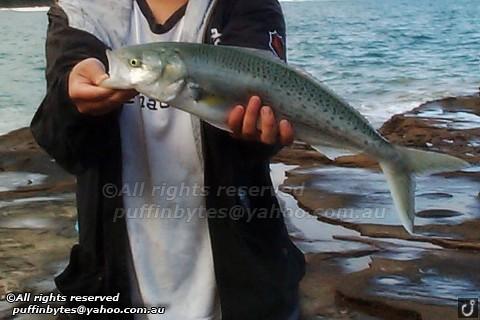 Western Australian salmon - Arripis truttacea