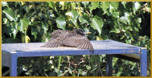 Sunbathing Starling