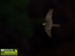 Bahia Nighthawk - Nyctiprogne vielliardi