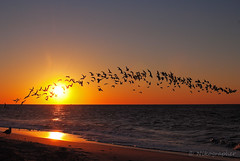 Skimmer Sunrise (Nikographer [Jon]) Tags: black fall beach sunrise newjersey october fuji oct nj cm pro fujifilm capemay atlanticocean 2010 skimmer s5 blackskimmer blackskimmers s5pro cmnj 20101023fs50975