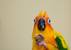 riley is such a beautiful bird (eva8*) Tags: bird wet beautiful riley parrot conure sunconure eva8 featheryfriday