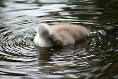 ripples (Linda Cronin) Tags: baby water river kent swan cygnet ripples eynsford naturesfinest instantfave challengeyouwinner 3waychallengewinner cywinner cy2winner 15challengeswinner lindacronin motifdchallengewinner photofaceoffwinner likeitornotwinner thechallengegame