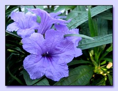 Ruellia Brittoniana 'Katie' or Dwarf Mexican Petunia or Dwarf Purple Ruellia