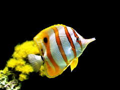 Butterfly fish ! (AL zanki (d10b Q8)) Tags: life orange fish water animal yellow butterfly aquarium marine live sony explore planet kuwait saltwater q8  alzanki