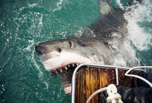GREAT WHITE SHARK - GANSBAAI, SOUTH AFRICA 2003