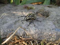 Angry bug (CAGRI OZMERZIFONLU) Tags: bug beatle