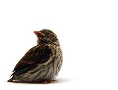[フリー画像] [動物写真] [鳥類] [チャガシラヒメドリ] [雛/ヒナ]       [フリー素材]