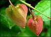 Cicadella (Karina Diarte de Maidana) Tags: insect paraguay naturesfinest homoptera cicadella antigonon karinadiarte