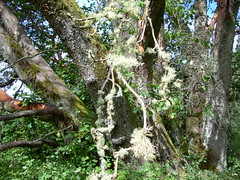Closeup of madrona (Arbutus menziesii) with usnea lichen (benet2006) Tags: madrona lichen usnea