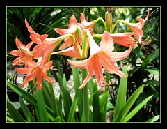 3 flower stalks of Orange Hippeastrum at our backyard, Aug 2007