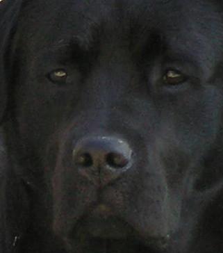 black labrador retriever - Melvin