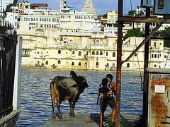 No molesten (Cyberian8) Tags: people india me animal fauna canon 350d cow asia animaux diere  udaipur tier  vaca djur  hayvan desanimaux  hewan haiwan reinoanimal  ivotinja  bystrangeearth favoritescyberian8 gadgetbystrangeearth