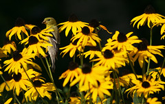Female Goldfinch 2 (dshearer) Tags: goldfinch blackeyedsusan