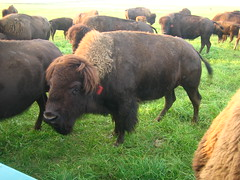 113 (IcaWise) Tags: ranch minnesota buffalo farm roadtrip bison wildwest greatplains