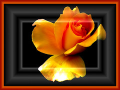 A Rose.... (elbfoto) Tags: orange black flower rose yellow framed natur experimentation blume schwarz elbfoto platinumphoto theunforgettablepictures goldstaraward micarttttworldphotographyawards micartttt godnaturedonothinginvain