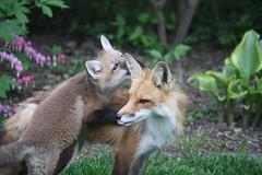 1009 Mom I got a secret! (wantadog) Tags: baby nature wildlife fox kits vixen vulpesvulpes