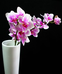 Phalaenopsis in a vase - by tanakawho
