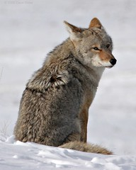 Winter Coyote - Yellowstone National Park (Dave Stiles) Tags: coyote wildlife yellowstonenationalpark yellowstone nowpublic stiles canislatrans specanimal yellowstonewildlife wintercoyote