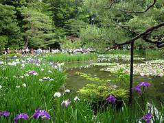2007.06.08 平安神宮16 西神苑3 花菖蒲2