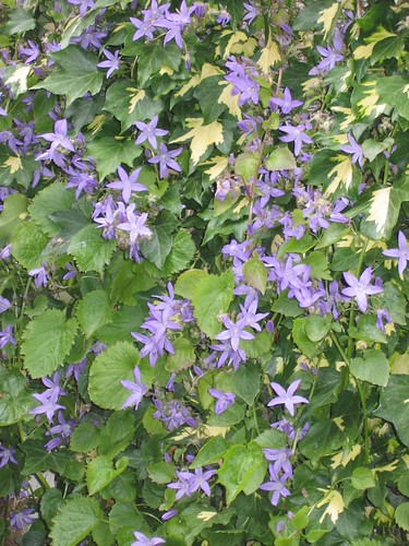 Campanula growing amid ivy