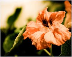 Fading Like a Flower (Stefan Elf) Tags: old flower garden leaf fading 1735mmf28d coolest washedout questfortherest nikond200 nikkor1735mmf28 printsavailableonrequest