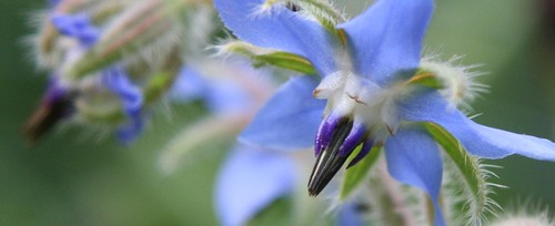 close borage