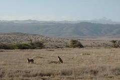 100 - Lewa - Cheetahs (FO Travel) Tags: kenya nairobi nakuru karama lewa baringo naivasha turkana gabra chalbi suguta nariokotome kalacha loyangalani logipi