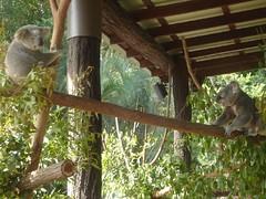 Australia Zoo, Koalas