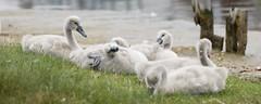 The Cygnets (karenbyseashore) Tags: swans cygnets widewatershorehambirds