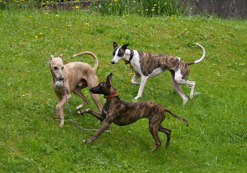 Whippet friends from Vorarlberg 7