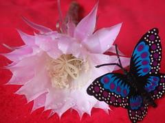 cactus butterfly (jk10976) Tags: flowers nepal flower asia searchthebest kathmandu soe naturesfinest flickrsbest buttrfly mywinners anawesomeshot impressedbeauty superbmasterpiece jk10976 platinumheartaward jkjk976