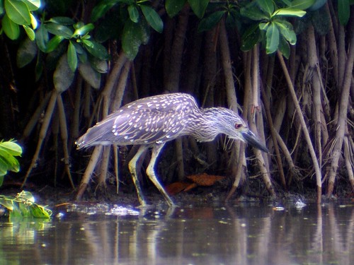night heron juv3
