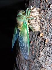 CICADA EMERGING FROM IT