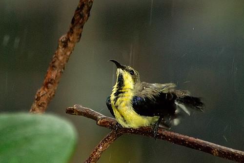 sunbird in rain