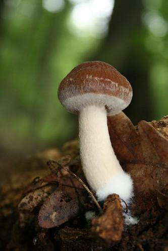 Shitake Mushroom Identification
