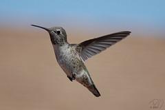 Humming Bird #5 9-10-07 [Explore] (BluAlien) Tags: bird nature animal fauna nikon hummingbird action d40 chupaflor specnature specanimal chuparosa 55200mmvr natureoutpost