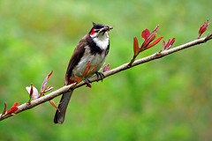 Pycnonotus jocosus (Red-whiskered Bulbul). (Felix Francis) Tags: wild india macro bird nature fauna forest felix forestry wildlife kerala thrissur bulbul redwhiskeredbulbul pycnonotusjocosus cafer pycnonotus flickrsbest impressedbeauty