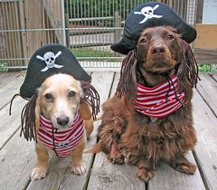 Pirates of the Uncertain with wardrobe malfunction. (Doxieone) Tags: dog cute english fall halloween hat puppy book costume video long published mosaic contest cream dachshund honey final pirate blonde winner pup haired pup1 mostpopular 2007 coll ggg longhaired toocute honeydog topfavorite englishcream ultrakawaii 351191024 honeyset 10833309142008 fallhalloween200672008set 2019080809 publishedinbook