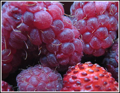 berries copy