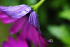 Drop/Let (lowbattery) Tags: morning pink light flower water leaves dof purple blossom petal canon350d bloom droplet waterdrops sigma1770 mywinners irresistiblebeauty