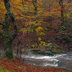 Quinto Real (Pilar Azaa Taln ) Tags: autumn espaa leaves landscape hojas spain europa paisaje colores otoo roarga comunidadforaldenavarra pilarazaataln virgiliocompany bosquequintoreal copyrightpilarazaataln