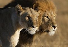 The Happy Couple (Lyndon Firman) Tags: africa canon eos kenya lion safari 1d lioness masaimara themoulinrouge parkstock magicdonkey flickrsbest specanimal anawesomeshot impressedbeauty goldenphotographer megashot superhearts dirtyphotoshop