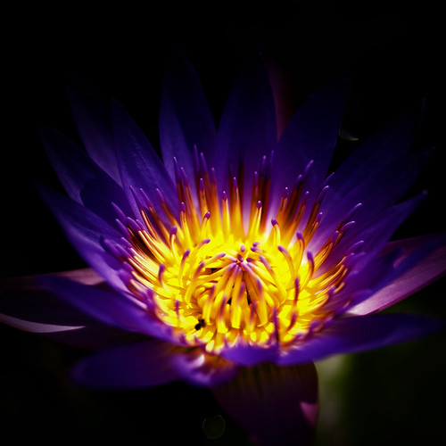 Flowers - Water Lily