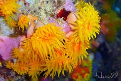 Orange Cup Coral at Koh Tao Island, Thailand (_takau99) Tags: ocean trip travel sea vacation orange holiday fish macro uw nature water yellow topv111 coral thailand lumix topv555 topv333 marine asia southeastasia underwater wildlife topv1111 topv444 dive july scuba diving topv222 panasonic explore thai samui tropical scubadiving topv777 tao topv666 topf10 kohtao kotao 2007 topv888 gulfofthailand topf5 fx30 greenrock cupcoral  takau99 orangecupcoral dmcfx30 lumixfx30