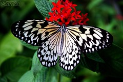 White Beauty (Pardesi*) Tags: flower nature beauty lady butterfly amazing nikon florida butterflies butterflyworld naturesfinest blueribbonwinner supershot flickrsbest pardesi whitebeauty abigfave nikond80 superbmasterpiece flickrdiamond buzznbugz flickrslegend