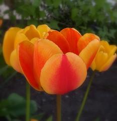 Tulips - by Per Ola Wiberg ~ Powi
